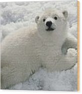 Polar Bear Cub Playing In Snow Alaska Wood Print
