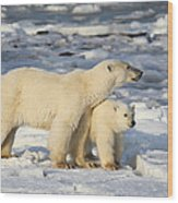 Polar Bear Mother And Cub Wood Print