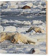 Polar Bear Mother And Cub Grooming Wood Print