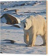 Polar Bear On The Tundra Wood Print