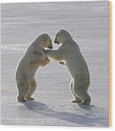 Polar Bear Pair Sparring Churchill Wood Print