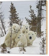Polar Bear Ursus Maritimus Mother And Cubs Wood Print