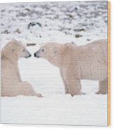 Polar Bears Introducing Themselves Wood Print