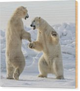 Polar Bears  Ursus Maritimus  Sparring Wood Print