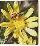 Pollen-laden Bee On Yellow Daisy Wood Print