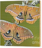 Polyphemus Moths Wood Print