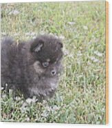 Pomeranian Alert Puppy Wood Print