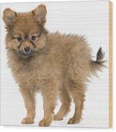 Pomeranian Puppy Dog Wood Print