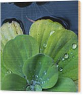 Pond Lettuce Wood Print