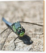 Pondhawk Upclose Wood Print