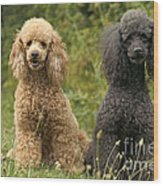 Poodle Dogs Wood Print