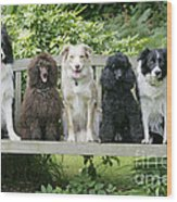 Poodles And Other Dogs On A Bench Wood Print