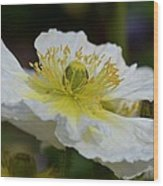 Poppy Adoration Wood Print