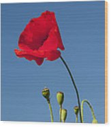 Poppy And Buds Wood Print