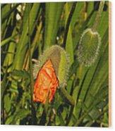 Poppy Emergence Wood Print