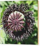 Poppy Seed Capsule Wood Print