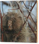Porcupine And Berries Wood Print