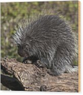 Porcupine Looking For Food Wood Print