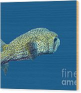 Porcupine Pufferfish Wood Print