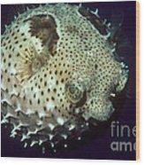 Porcupinefish Wood Print