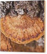 Poria Shelf Fungi 1 Wood Print