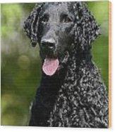 Portrait Black Curly Coated Retriever Dog Wood Print