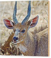 Portrait Of A Bushbuck In Kruger National Park-south Africa  Wood Print