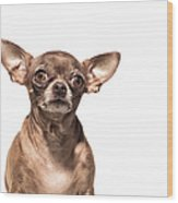 Portrait Of A Chocolate Chihuahua - The Wood Print
