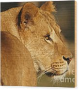Portrait Of A Dreamy Lioness  Wood Print