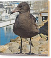 Portrait Of A Grumpy Gull Wood Print by Brian D Meredith