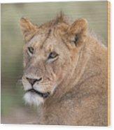 Portrait Of A Lioness, Panthera Leo Wood Print
