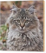 Portrait Of A Maine Coon Kitten Wood Print