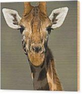 Portrait Of A Rothchilds Giraffe Wood Print