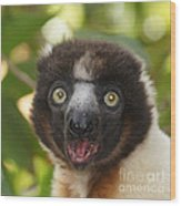 portrait of a sifaka from Madagascar Wood Print