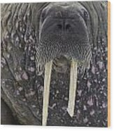 Portrait Of A Walrus Wood Print