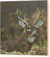 Portrait Of A White Tailed Buck Wood Print