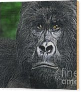 Portrait Of A Wild Mountain Gorilla Silverbackhighly Endangered Wood Print