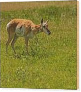 Portrait Of A Young Pronghorn Wood Print