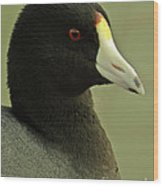 Portrait Of An American Coot Wood Print