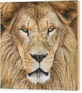 Portrait Of Beautiful African Lion Wood Print