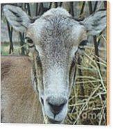 Portrait Of Mouflon Ewe Wood Print