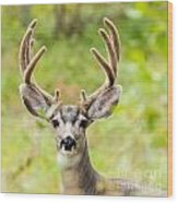 Portrait Of Mule Deer Buck With Velvet Antler  Wood Print