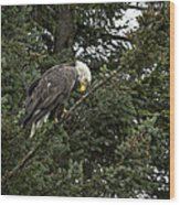 Posing Bald Eagle Wood Print