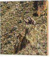 Posing Bighorn Sheep Wood Print