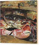 Posing Crab Wood Print