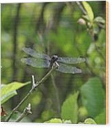 Posing Dragonfly Wood Print