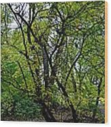 Poudre Trees Wood Print by Baywest Imaging