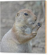Prairie Dog Cleaning His Teeth Wood Print