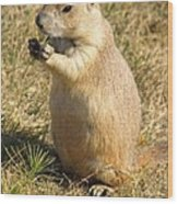 Prairie Dog Feeding On The Meadows At The Devil's Tower Wood Print