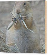 Prairie Dog Food Wood Print